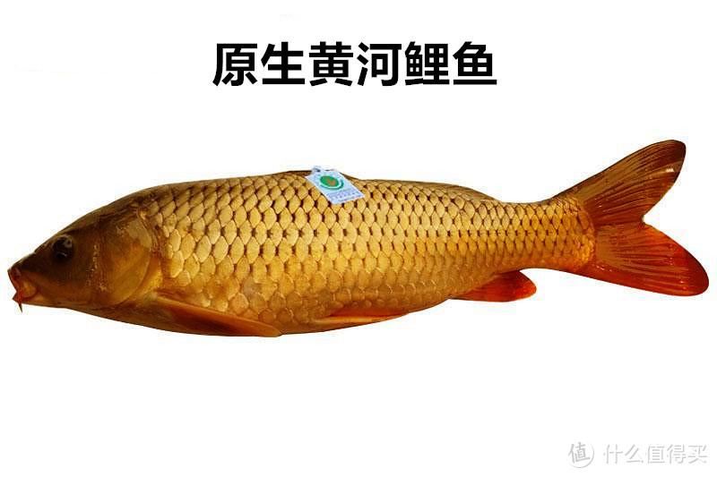 """黄河大鲤鱼受热捧,曾经的""""淡水鱼王""""还能吃到吗?"""