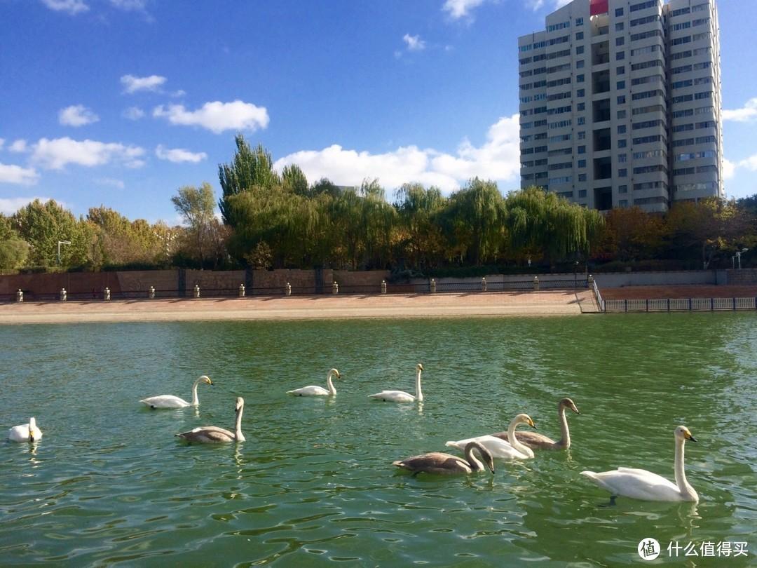 孔雀河和孔雀河里的天鹅