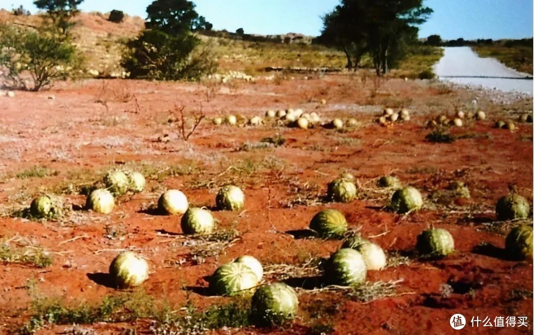 买西瓜时,不是越大越好,记住1听、3看、1拍,助你买到沙瓤好瓜