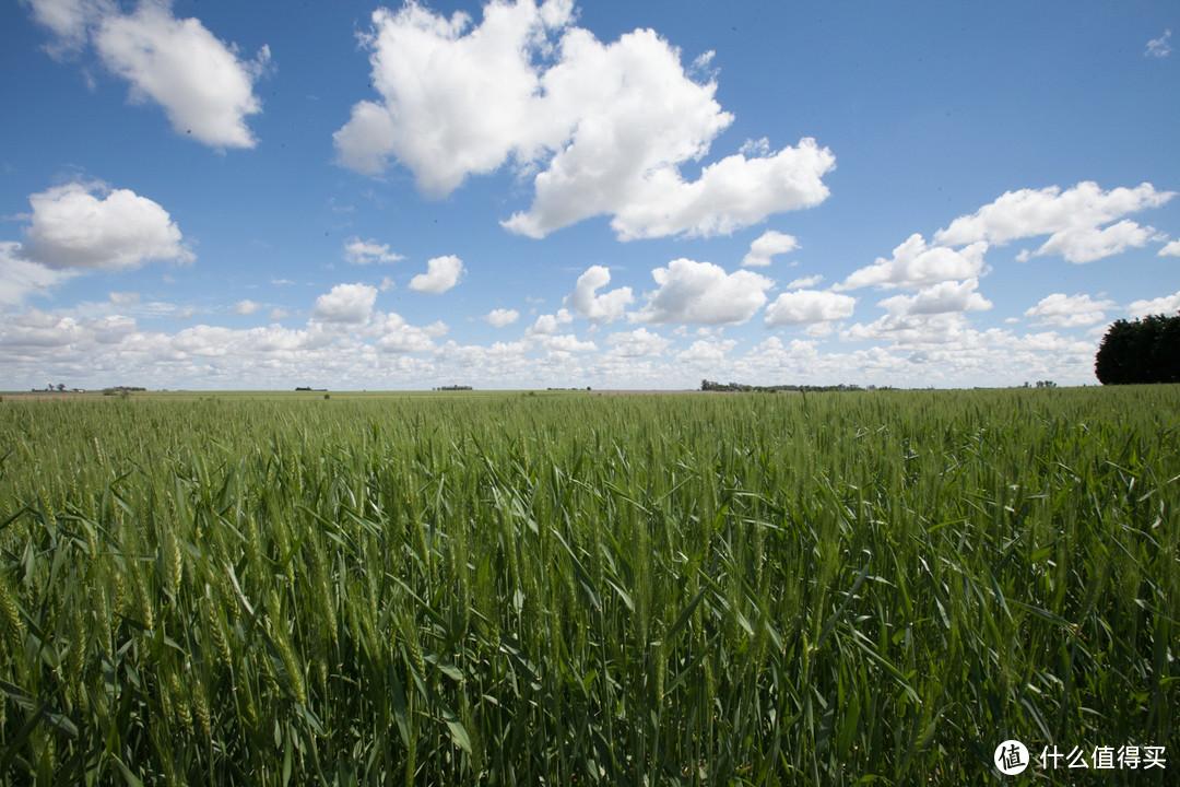 草原畜牧业发达的国家的草都经过改良,品质好长得快