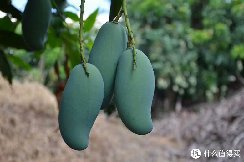 即使成熟了,果子也是深绿色,只能凭借气味跟触感判断是否成熟