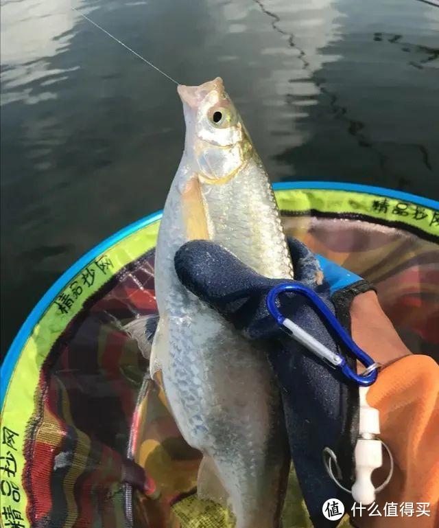 """别以为白条鱼很好钓,这3个时机抓不牢,""""爆护""""离你很遥远"""