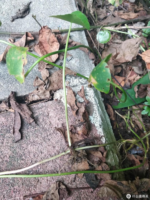 阳台养花系列-一些适合水培的皮实绿植