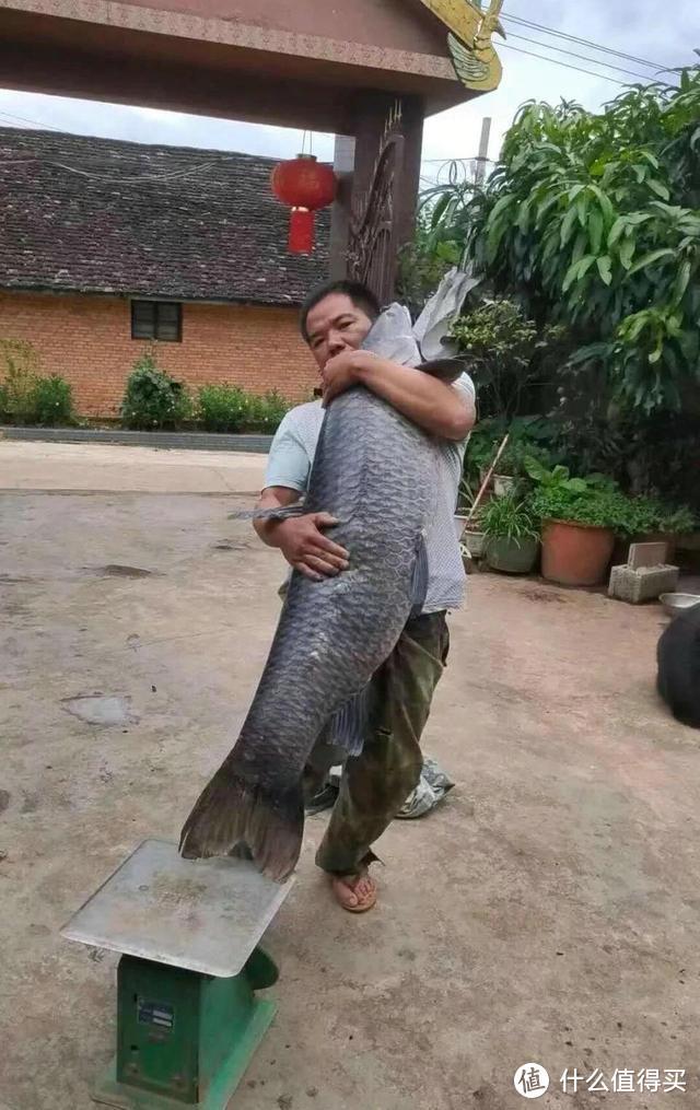 """安徽一男子钓上""""青鱼王"""",差不多和人一样高,用了几百斤的窝料"""