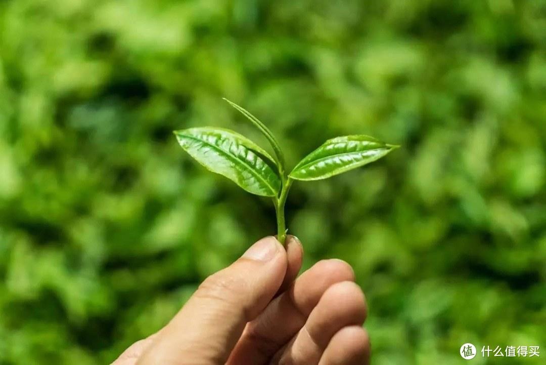 一芽二叶:一根嫩枝+两朵茶叶