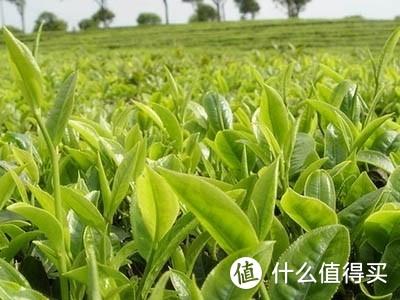 白沙绿茶是什么茶?简述白沙绿茶