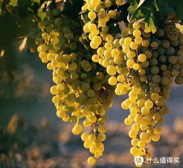 (莫斯卡托是典型的芳香品种,也是吃起来最像葡萄的葡萄)