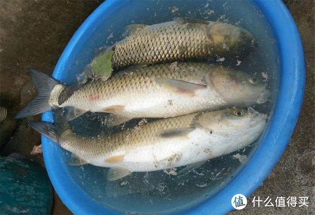 想用玉米钓大鱼,生的熟的谁更好?老钓友:这样选就对了