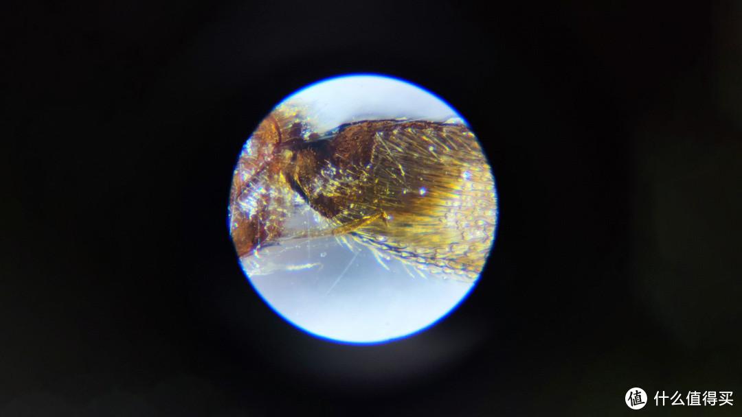 蜜蜂腿切片