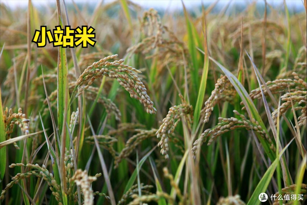 中国的12大优质大米,你吃过其中的几种?你家乡的米榜上有名吗?