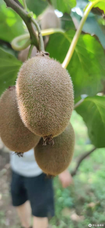 这是标准的翠香果形,一头大一头小,果子大部分是扁扁的形状