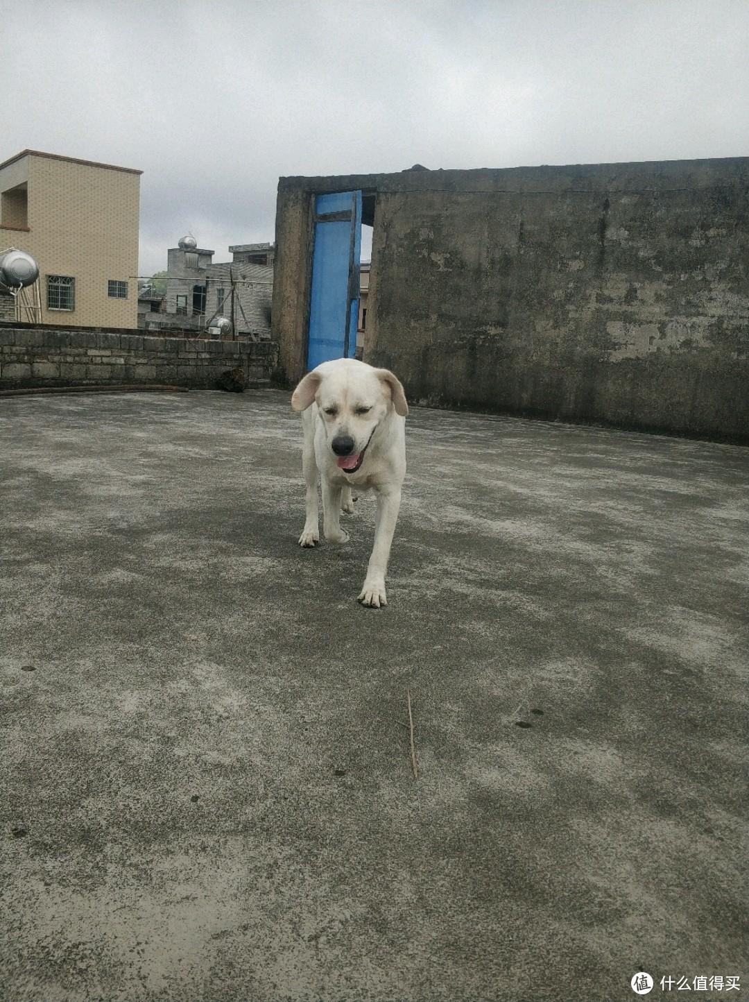 八十斤的大狗,在农村喂番薯的,没东西喂,真难,想一棍子给它
