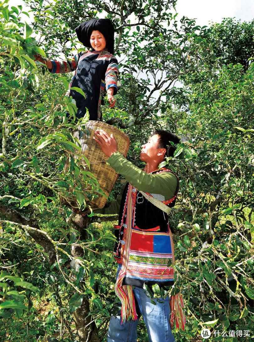 云南大叶种的茶树较高大,常需要爬上树采菁。