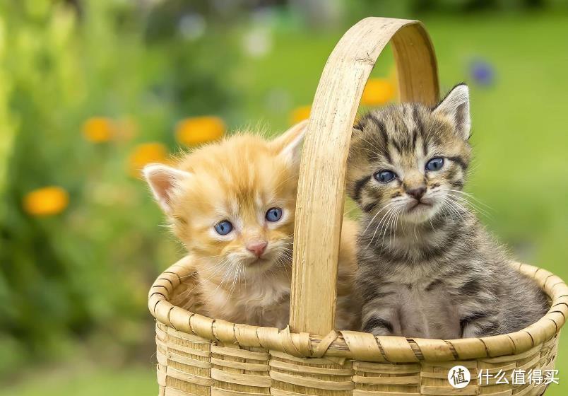 猫咪吐毛怎么办?猫草和化毛球片的优劣势对比